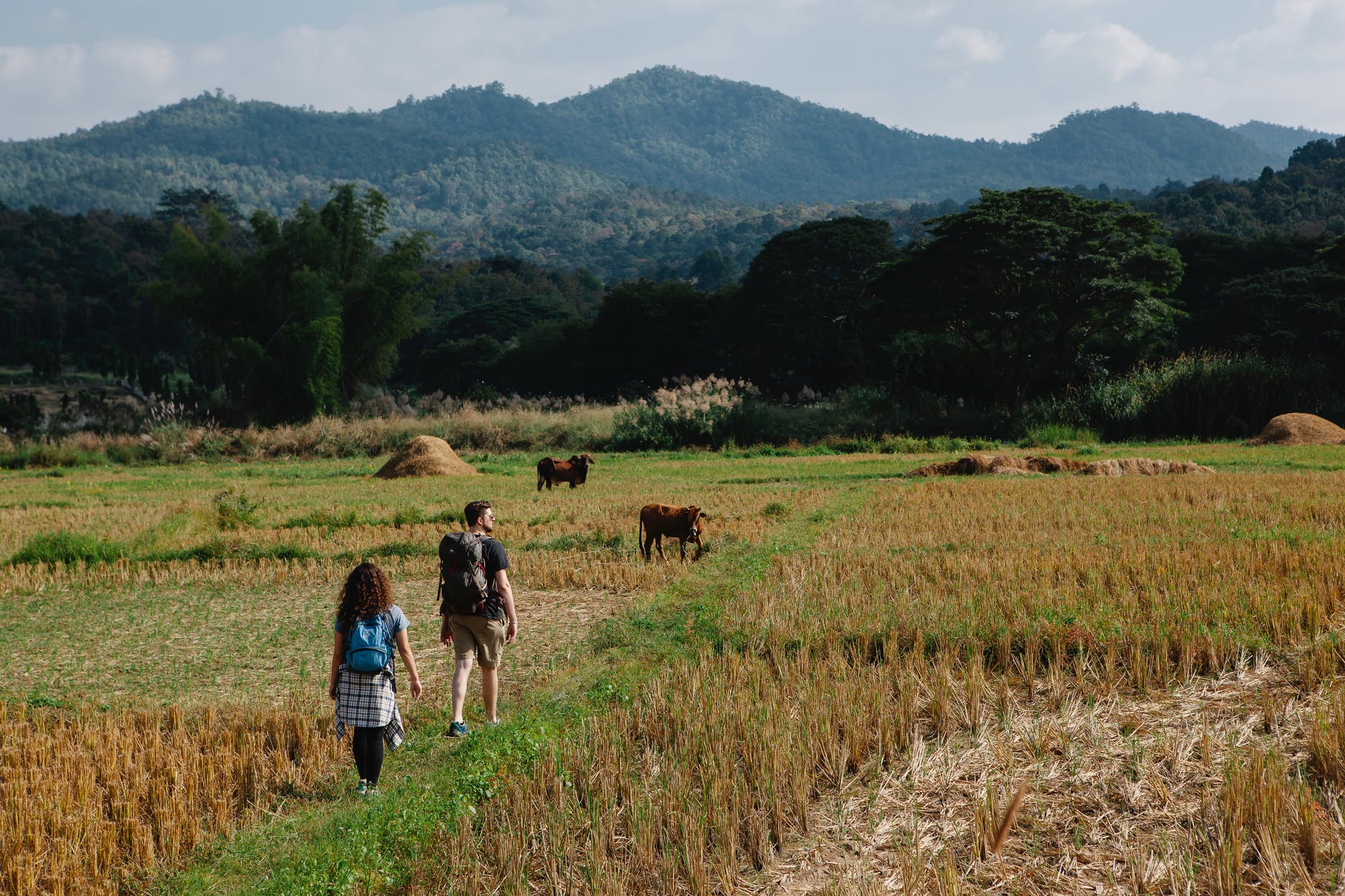 unrecognizable couple of travelers walking on grassy field with cows