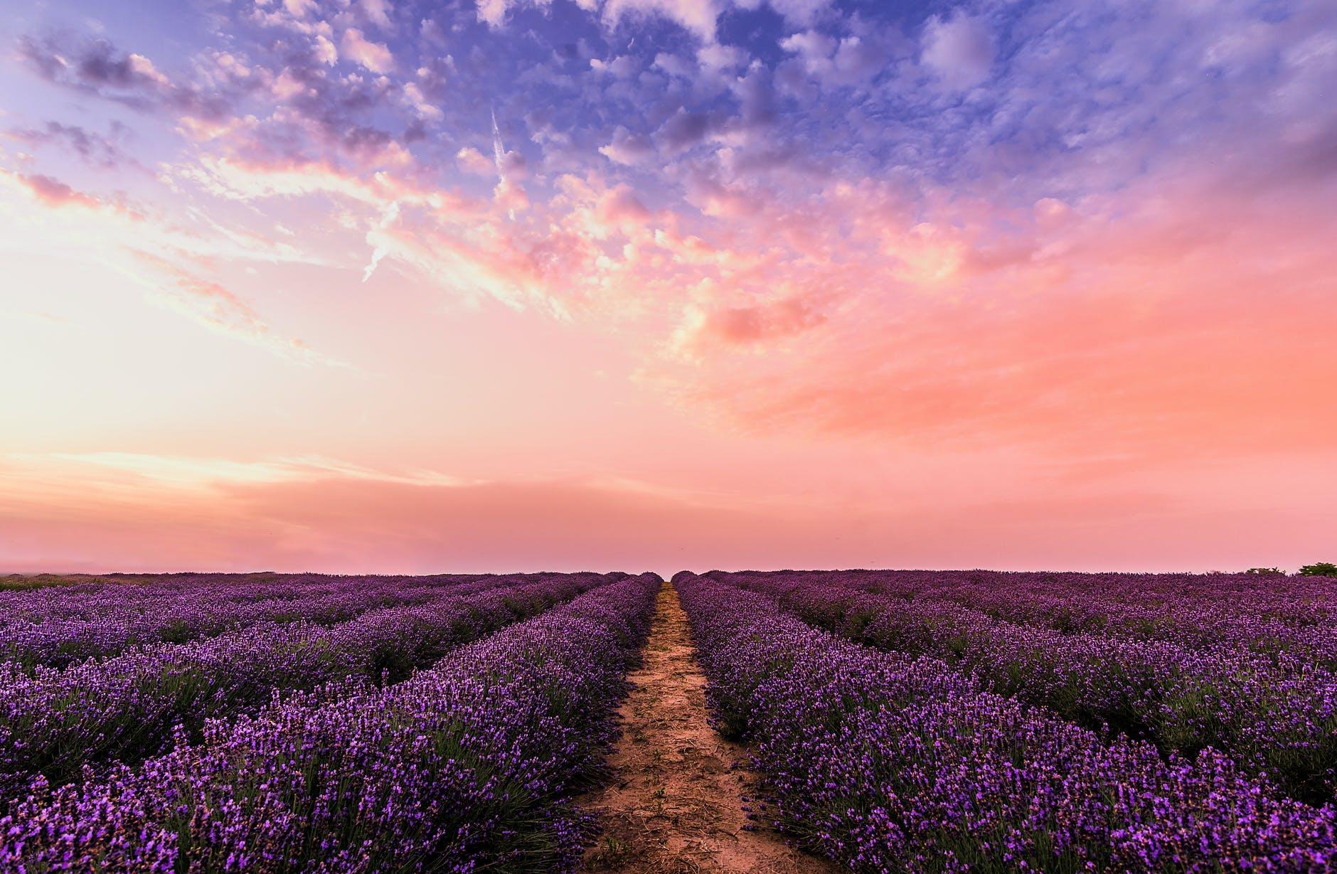 photo lavender flower field under pink sky